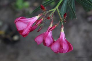 Pinkoleander