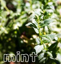 Mint_002_copy